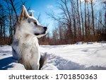 Siberian Husky Wolf Dog Sitting ...