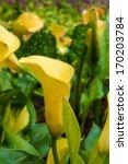 beautiful yellow day lilies.... | Shutterstock . vector #170203784