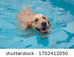 Golden Retriever Swimming And...