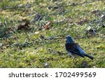 Fieldfare In Latin Turdus...