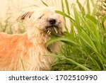 Furry Dog Eating Grass. This...