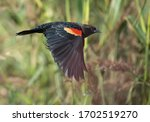 Adult male Red-winged Blackbird (Agelaius phoeniceus) in non-breeding plumage, side view of bird in flight, showing upperparts