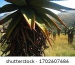 Close View Of Mountain Aloe...