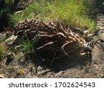 Fallen Piece Of A Dead Aloe...