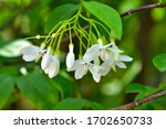 Wild Water Plum Flowers In The...
