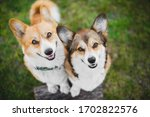 Two Welsh Corgi Pembroke Dogs...