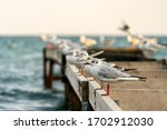 Seagulls Sitting On The Pearls...