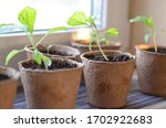 Seedlings Of Aubergine ...