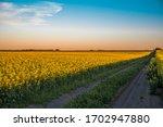 Canola field in Saskatchewan Canada
