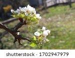 Flowering Branch Of Pear....