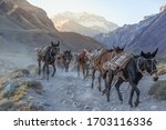 Pack mules descending from the...