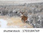 Whitetail Buck Deer Stepping...