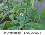 A Green Bean Plant With A Fresh ...