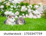Alaskan Malamute Puppy And...