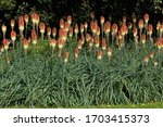 Red Hot Poker Flowerbed  ...