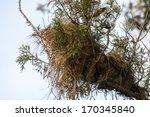 great kisakadee pitangus... | Shutterstock . vector #170345840