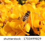 syrphus ribesii hoverfly on... | Shutterstock . vector #1703499829