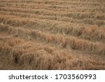 Natural Rice Straw Stubble...