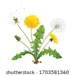 Realistic Dandelions Set With...