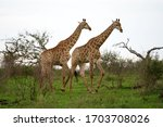 Giraffe Walking Through A Field ...