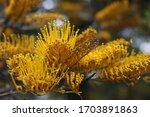 Silver Oak Yellow Flowers Shot...