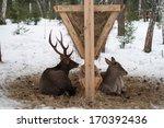 Deer And Roe Deer Lying At The...