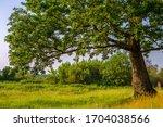 oak tree. oak in the meadow....   Shutterstock . vector #1704038566