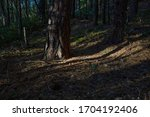 Trunks Of Pine Trees Lit By The ...