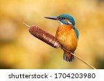 Calm Male Common Kingfisher ...