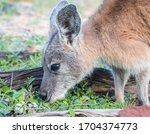 Close Up Of A Wallaby Feeding...