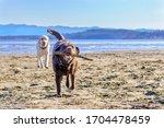 Yellow Labrador Retriever...