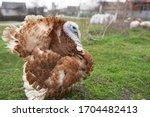 Turkey breeding farm. home...