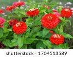 Red flowers of zinnia elegans ...