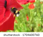 Bumblebee With Pollen Flying T...