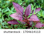 The Red  Coloured Spinach Plant.