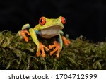 Red Eyed Tree Frog  Agalychnis...