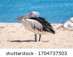 Pelican Standing At The Beach...