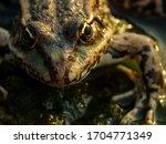 Close Up Portrait Of A Frog....