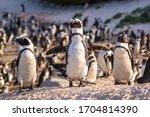 Humboldt Penguin  Spheniscus...