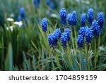 Blue Grape Hyacinth. Flowers...