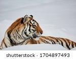 Amur  siberian  tiger  panthera ...