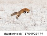 Red Fox Pouncing For Rodents In ...