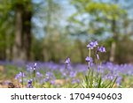 Close Up Of Bluebell Flowers I...