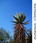 Tall Mountain Aloe Against Blue ...