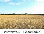 Golden Wheat Field  Forest...