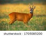 Strong Old Roe Deer  Capreolus...