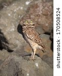 Burrowing Owl On Bay Trail In...