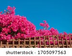 Pink Bougainvillea On A Wooden...