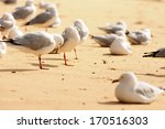 Seagulls At Manly Beach...