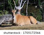 Male Eland Is Ruminating On Th...